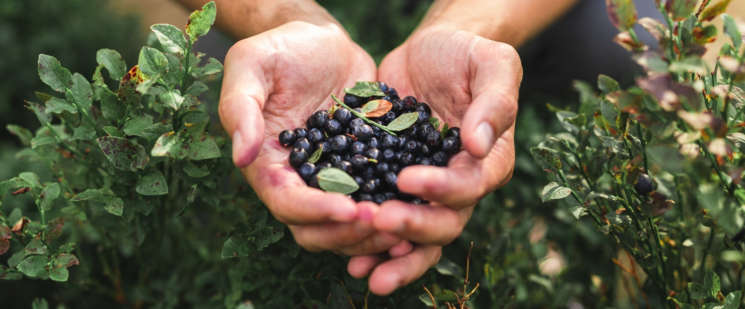 hands holding wild blueberries
